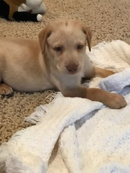 Labrador Retriever Puppy For Sale in LEASBURG, MO, USA