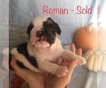 Puppy 3 English Bulldogge