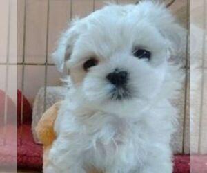 Mal-Shi Puppy for sale in BRINNON, WA, USA