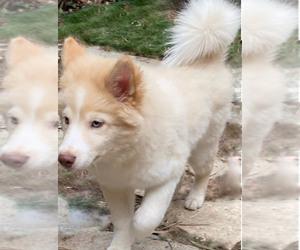 Siberian Husky Puppy for Sale in ENCINO, California USA
