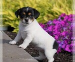 Small Jack Russell Terrier