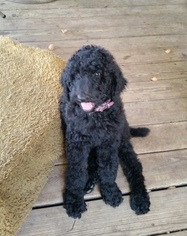 Adorable standard poodle puppies