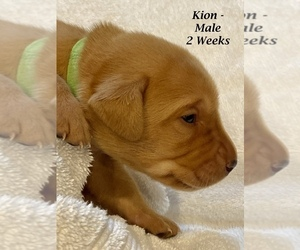 Labrador Retriever Puppy for sale in SOUTH HAVEN, MN, USA