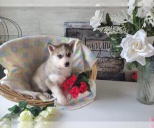 Siberian Husky Dog for Adoption in HUDSON, Michigan USA