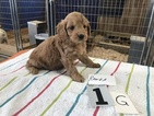 Goldendoodle (Miniature) Puppy For Sale in IVANHOE, TX, USA