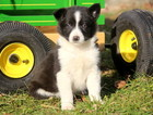 Australian Cattle Dog-Border Collie Mix Puppy For Sale in MOUNT JOY, PA, USA