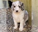CKC F1b Blue Merle Aussiedoodle Puppy