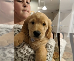 Golden Retriever Puppy for Sale in FUQUAY VARINA, North Carolina USA