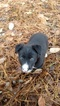 Border Collie Puppy For Sale in RANDOLPH, AL, USA