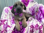 Cane Corso Puppy For Sale in QUARRYVILLE, PA,