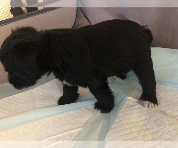 Medium Photo #1 Schnauzer (Miniature) Puppy For Sale in MICHIGANTOWN, IN, USA