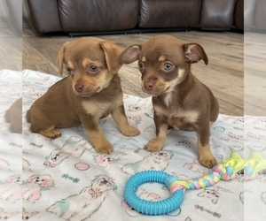 Chihuahua Puppy for sale in MARCUS, IA, USA