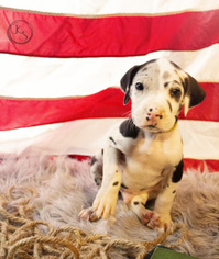 Great Dane Puppy For Sale in CMBRLND FRNCE, TN, USA