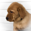 Labrador Retriever Puppy For Sale in BIG LAKE, MN