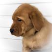 Labrador Retriever Puppy For Sale in BIG LAKE, MN