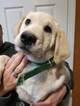 Labrador Border Collie Puppies