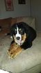 Bernese Mountain Dog Puppy For Sale in ERIE, PA