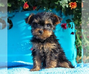 Yorkshire Terrier Puppy for sale in HOLTWOOD, PA, USA