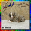 Molokai Toy Red Merle Male Aussie