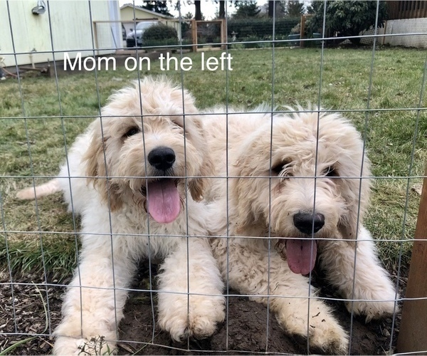 Medium Photo #3 Goldendoodle Puppy For Sale in SALEM, OR, USA
