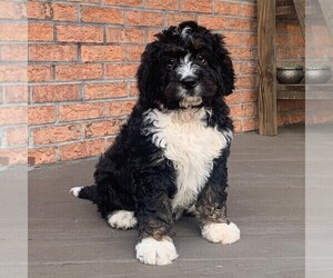 Bernedoodle Puppy for sale in NARVON, PA, USA
