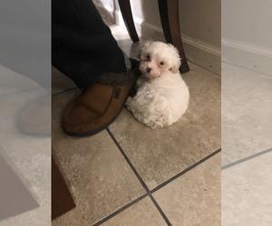 Maltipoo Puppy for sale in CONCORD, CA, USA