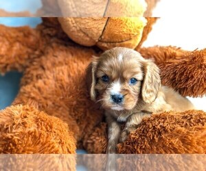 Cavalier King Charles Spaniel Puppy for sale in AMITY, NC, USA