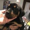Rottweiler Puppy For Sale in EUBANK, Kentucky,