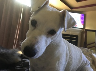 Jack Russell Terrier Dog For Adoption in AMES, IA, USA