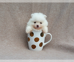Purebred white tiny pomeranian puppy male