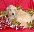 Golden Retriever Puppy For Sale in CONOWINGO, Maryland,