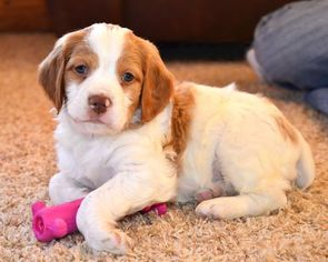 View Ad Brittany Puppy For Sale Montana Condon Usa