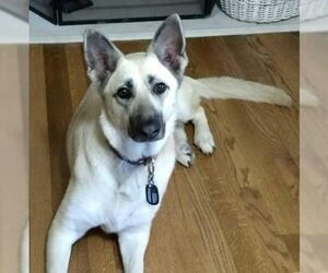 German Shepherd Dog Dog for Adoption in DALLAS, Texas USA
