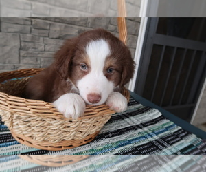 Australian Shepherd Puppy for Sale in INDIANAPOLIS, Indiana USA