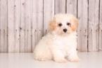 Maltichon Puppy For Sale in MOUNT VERNON, OH, USA