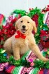 Golden Retriever Puppy For Sale in PLYMOUTH, OH, USA