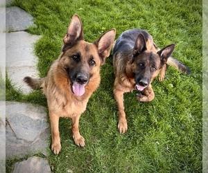 German Shepherd Dog Puppy for sale in CEDAR CITY, UT, USA