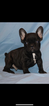 French Bulldog Puppy For Sale in EL PASO, TX, USA
