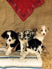 Australian Shepherd Puppy For Sale in LOUISBURG, NC
