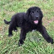 Newfoundland Puppy For Sale in HOUSTON, TX