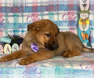 Belgian Malinois Puppy for sale in LANCASTER, PA, USA