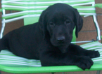 Labrador Retriever Puppy For Sale in SUNNYVALE, CA