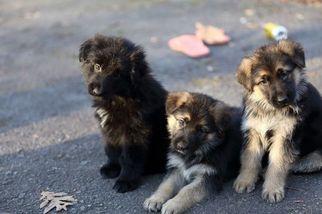 German Shepherd Dog Puppy For Sale in REDFIELD, AR, USA