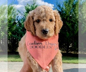Goldendoodle Puppy for sale in HEMBY, NC, USA