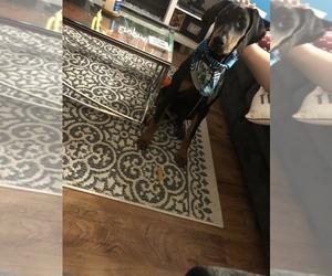 Doberman Pinscher Puppy for sale in WDBG, VA, USA