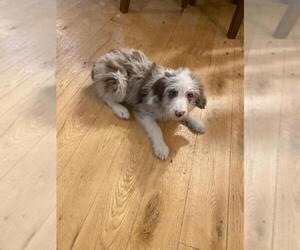 F2 Aussiedoodle Puppy for sale in FINLAYSON, MN, USA