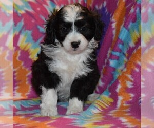Australian Shepherd-Poodle (Toy) Mix Puppy for sale in SUNBURY, PA, USA