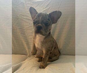 French Bulldog Dog for Adoption in JOHNS ISLAND, South Carolina USA
