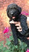 Poodle (Standard) Puppy For Sale in MARSHALL, Texas,