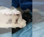 Small Photo #8 French Bulldog Puppy For Sale in SAN DIEGO, CA, USA